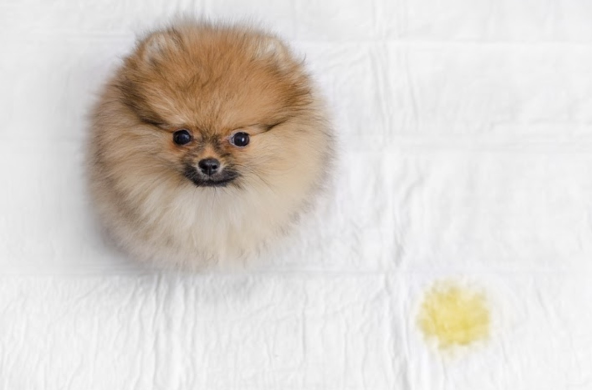 dog pee on bed